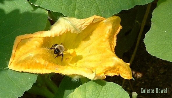 Yellow Squash Honey Bee photograph Colette Dowell