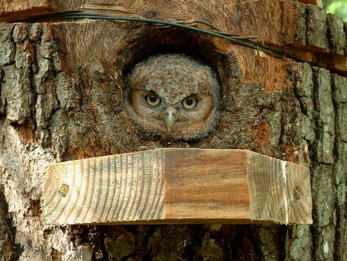 Colette Dowell Baby Screech Owl North Carolina Mountain Organic Farm